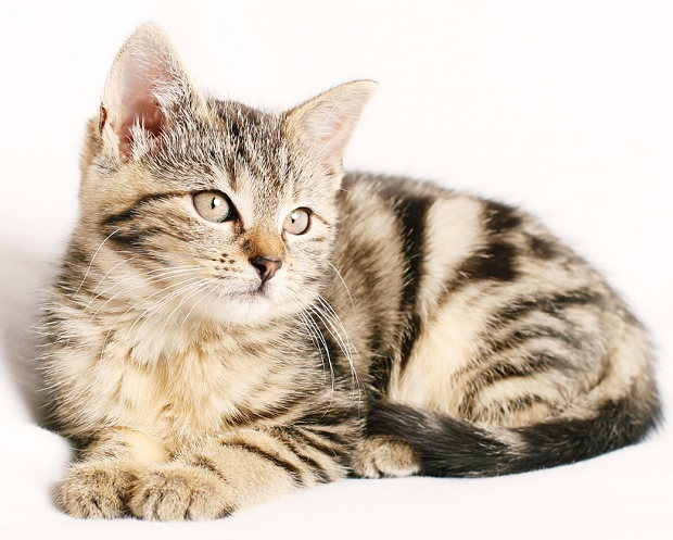 A striped kitten on a white background