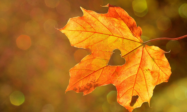 An orange autumn leaf with a heart-shaped hole in the middle, in front of a bokeh background