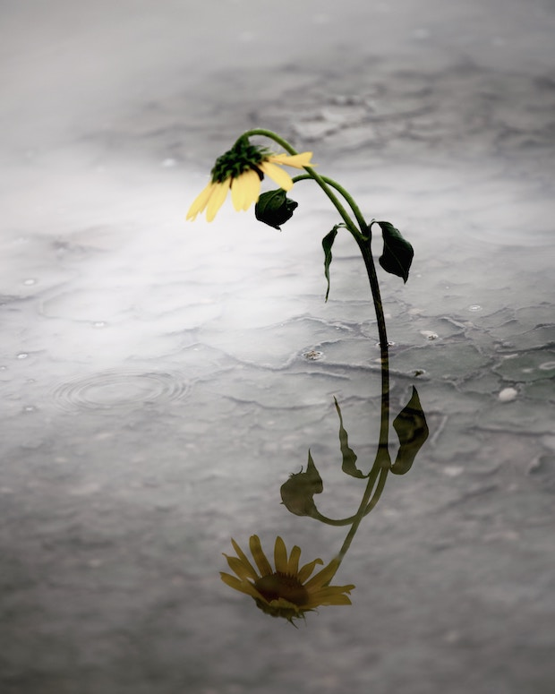 Original photo of a daisy and its reflection in a puddle of water